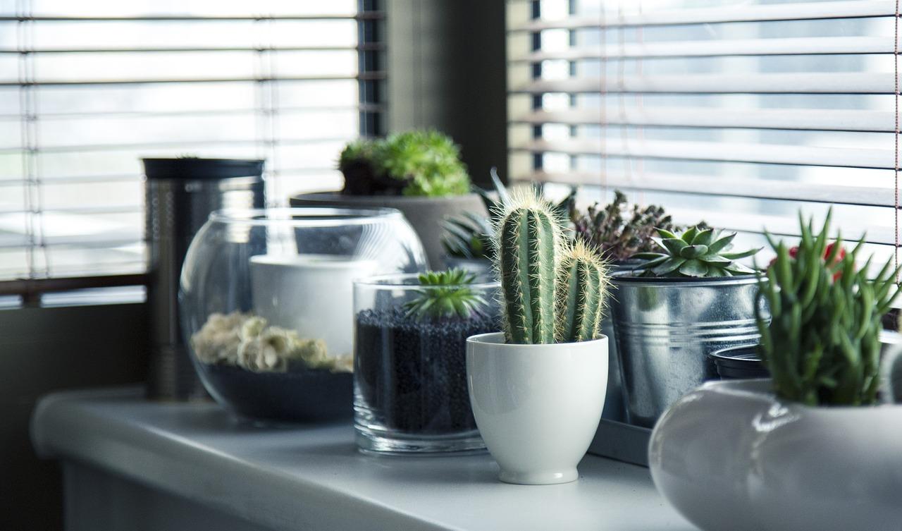 Jak dbać o kaktusy? Skuteczne wskazówki!